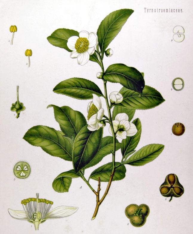 Camellia_sinensis_-_Köhler–s_Medizinal-Pflanzen-025